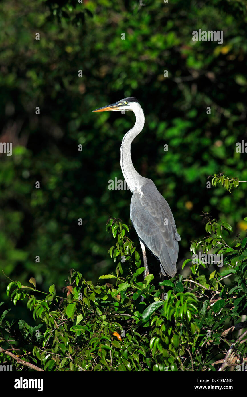 Cocoi Heron (Ardea cocoi), adult in a tree, Pantanal, Brazil, South America - Stock Image