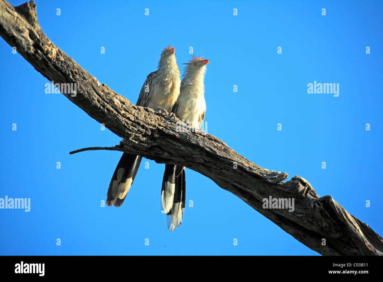 Guira Cuckoo (Guira Guira), adult birds on a branch, Pantanal, Brazil, South America - Stock Image
