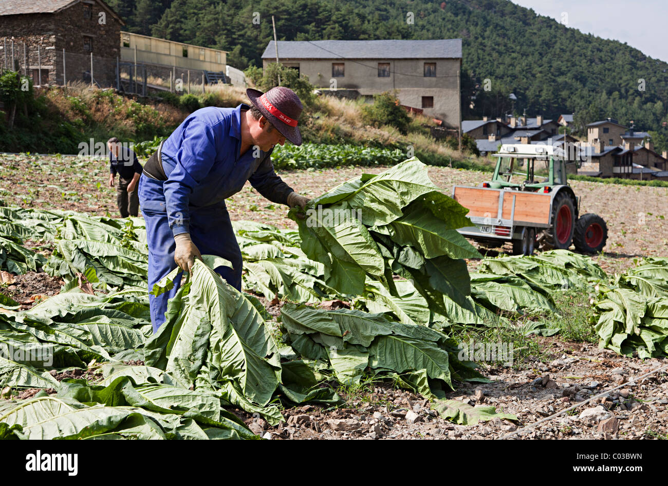 Farmer collecting tobacco leaves during harvest Andorra - Stock Image