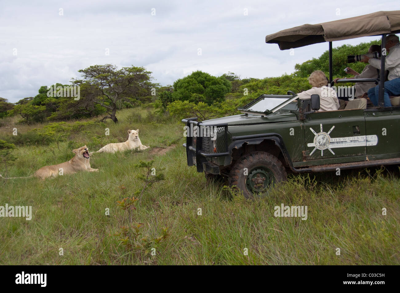 South Africa, Eastern Cape, East London, Inkwenkwezi Private Game Reserve. Safari jeep near a pair of lions. Stock Photo