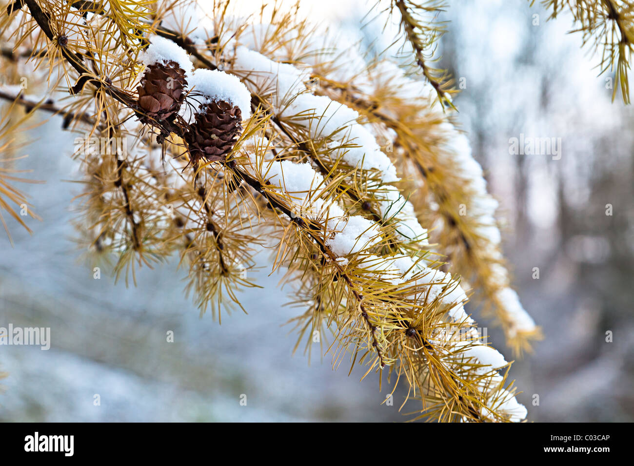 Pine cones on branch in snow Wales UK - Stock Image