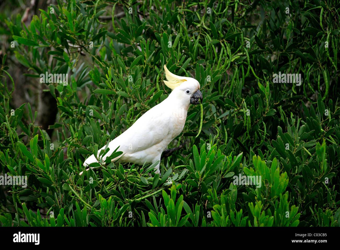 Sulphur-crested Cockatoo (Cacatua galerita), adult bird in the tree in search of food, Australia - Stock Image