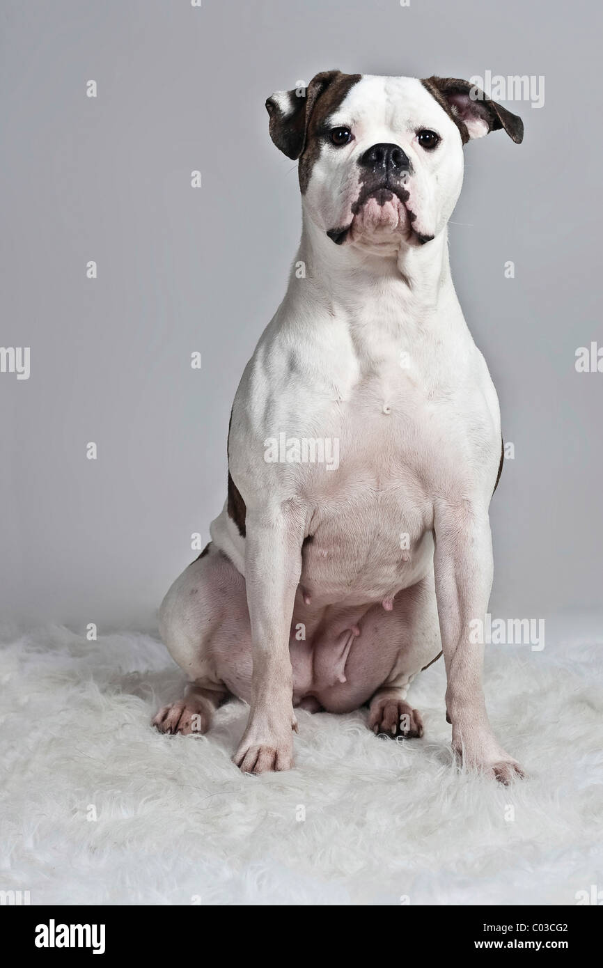 American Bulldog Sitting On A Lying On A White Plush Blanket Stock