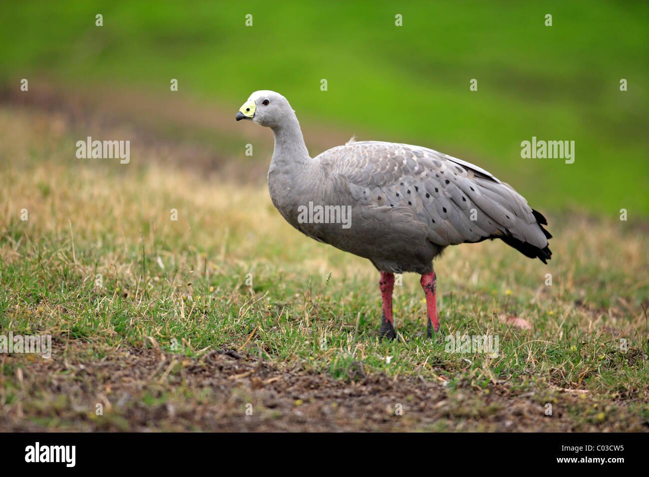 Cape Barren Goose (Cereopsis novaehollandiae), adult, Australia Stock Photo
