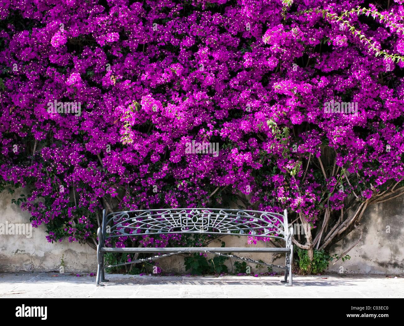 Bench under a bush of Bougainville (Bougainvillea) Stock Photo