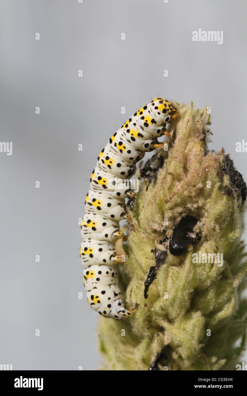 The mullein moth (Cucullia verbasci) on a verbascum - Stock Image