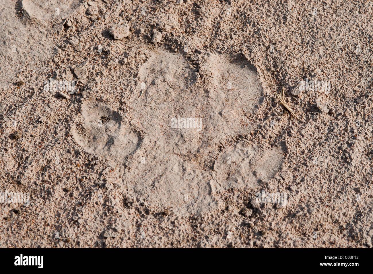 Footprint of a hippopotamus - Stock Image
