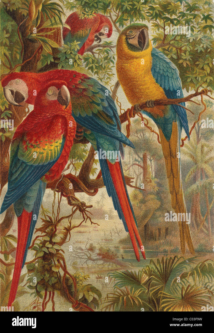 old lithography of colorful parrots - Stock Image