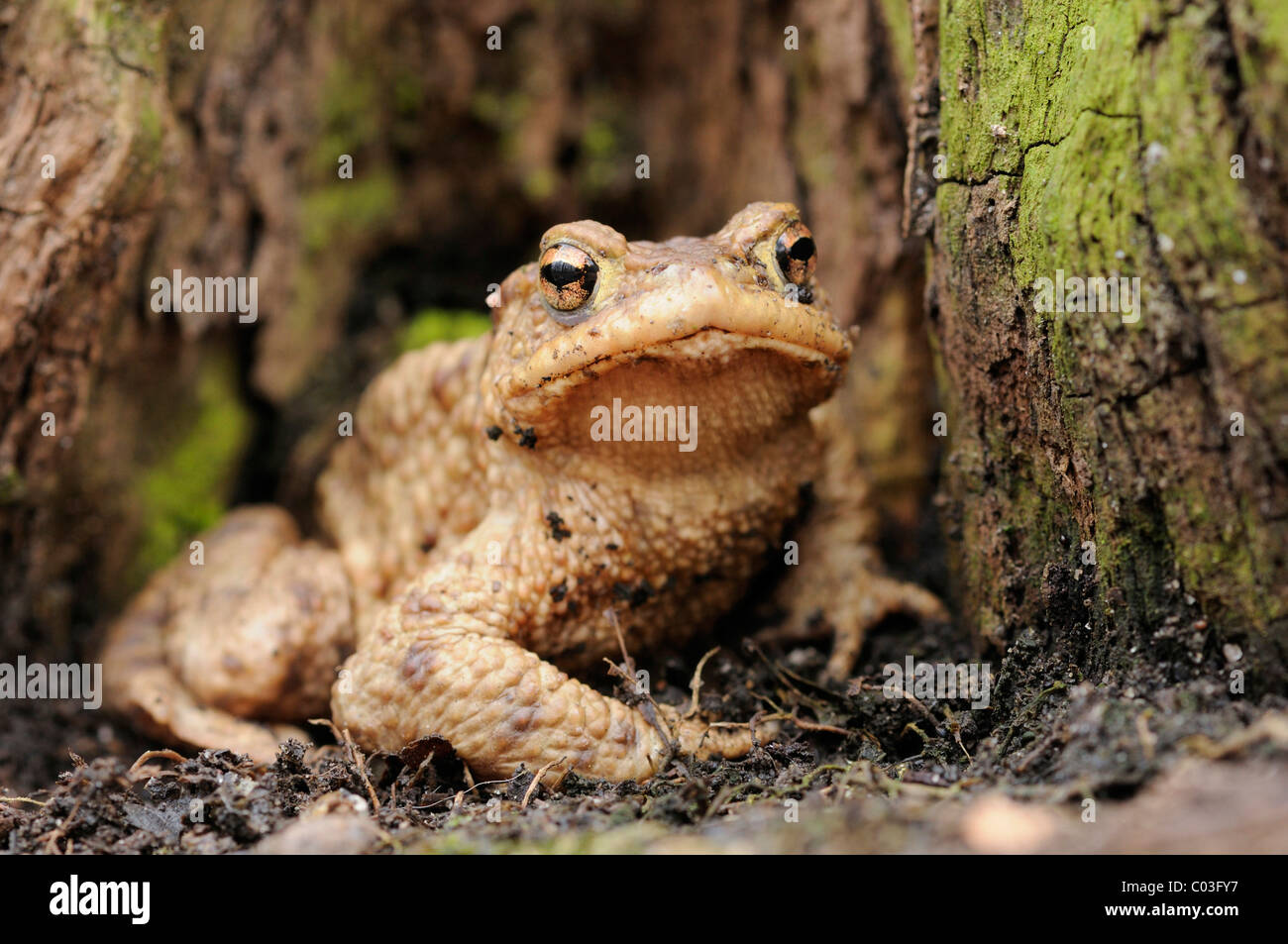 Common toad (Bufo bufo) on the forest floor in a lowland forest near Leipzig, Saxony, Germany, Europe Stock Photo
