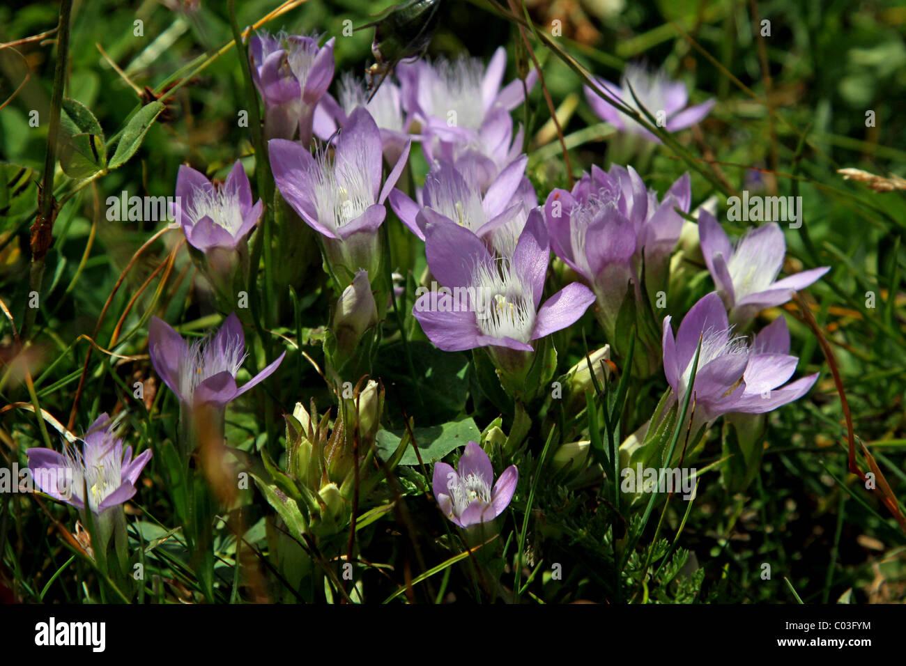 Spring Pasque or Spring Pasque Flower (Pulsatilla Vernalis), Hohe Tauern National Park, Austria, Europe - Stock Image