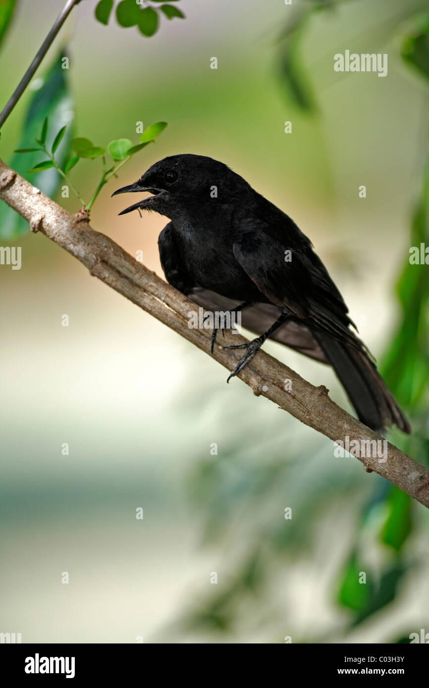 South African Black Flycatcher (Melaenornis pammelaina), adult on tree, Kruger National Park, South Africa, Africa - Stock Image