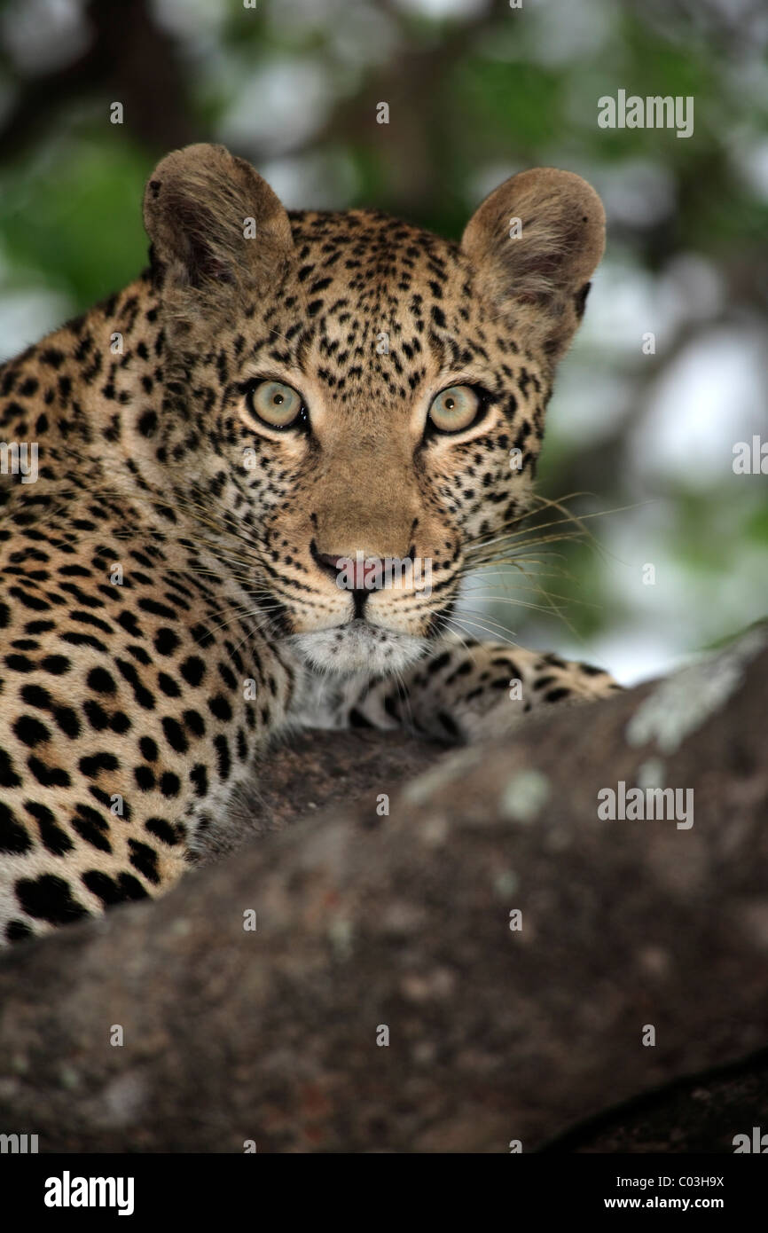 Leopard (Panthera pardus), adult on tree, Sabisabi Private Game Reserve, Kruger National Park, South Africa, Africa - Stock Image
