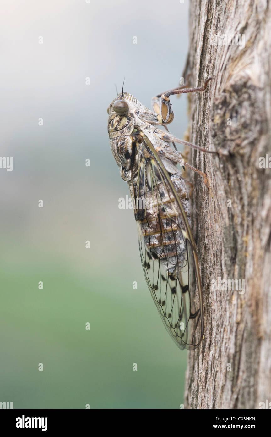 Cicada (Auchenorrhyncha), Italy Stock Photo