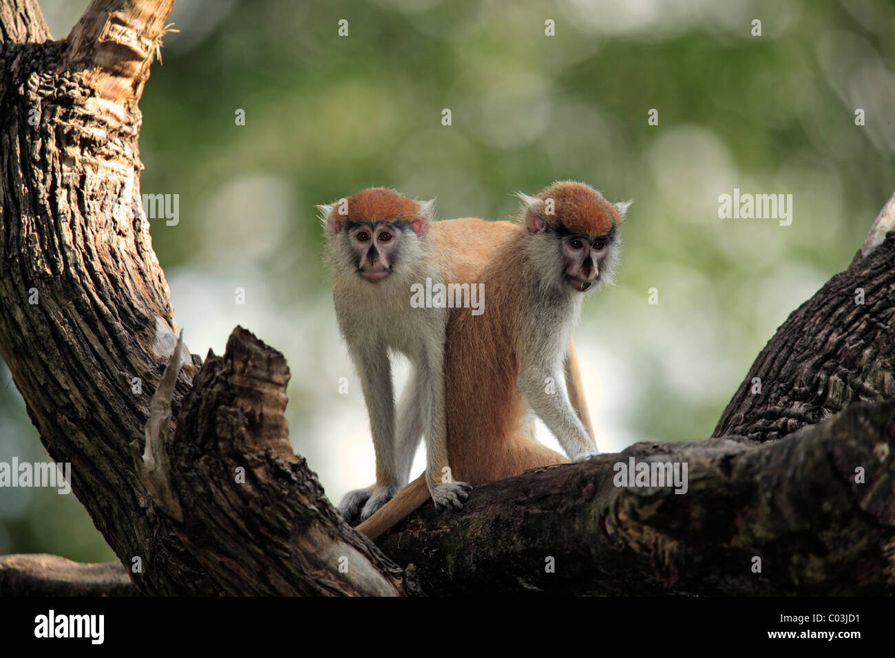 Patas Monkey (Erythrocebus patas), two juveniles in a tree, The Gambia, Africa - Stock Image