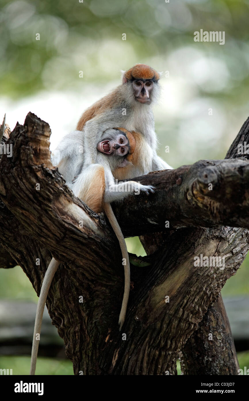 Patas Monkey (Erythrocebus patas), two juveniles in a tree, social behavior, The Gambia, Africa - Stock Image
