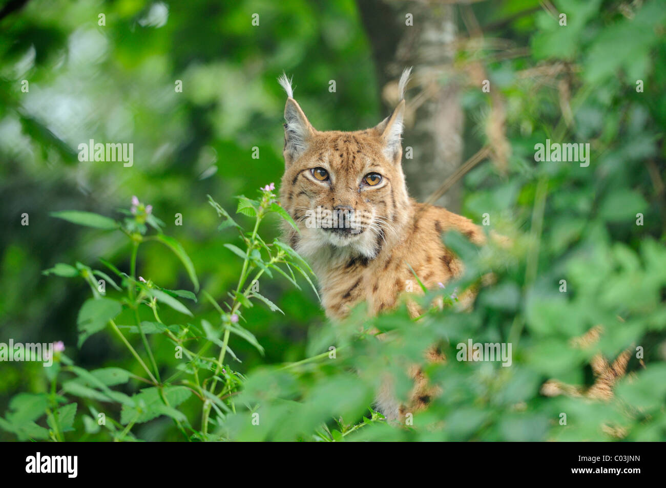European Lynx (Lynx lynx) looking out from the bushes - Stock Image