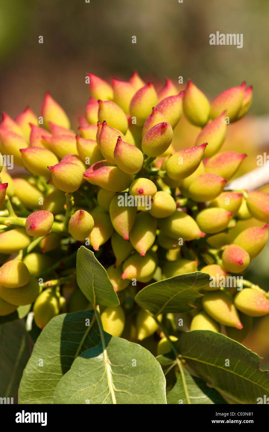 Growing Pistachios: Pistachio Nuts Growing Stock Photos & Pistachio Nuts