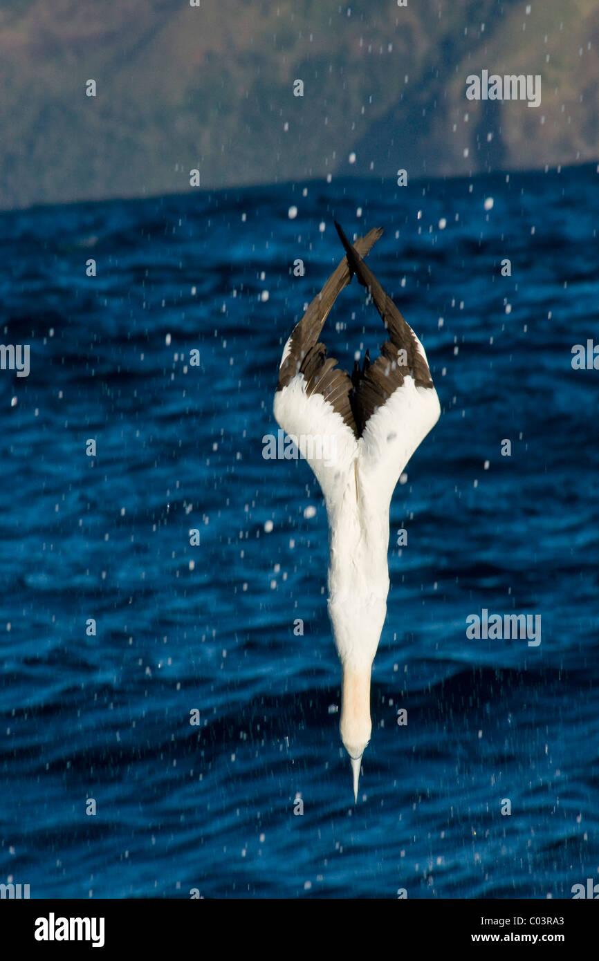Cape Gannet, Morus capensis, plunge-diving on sardines. - Stock Image