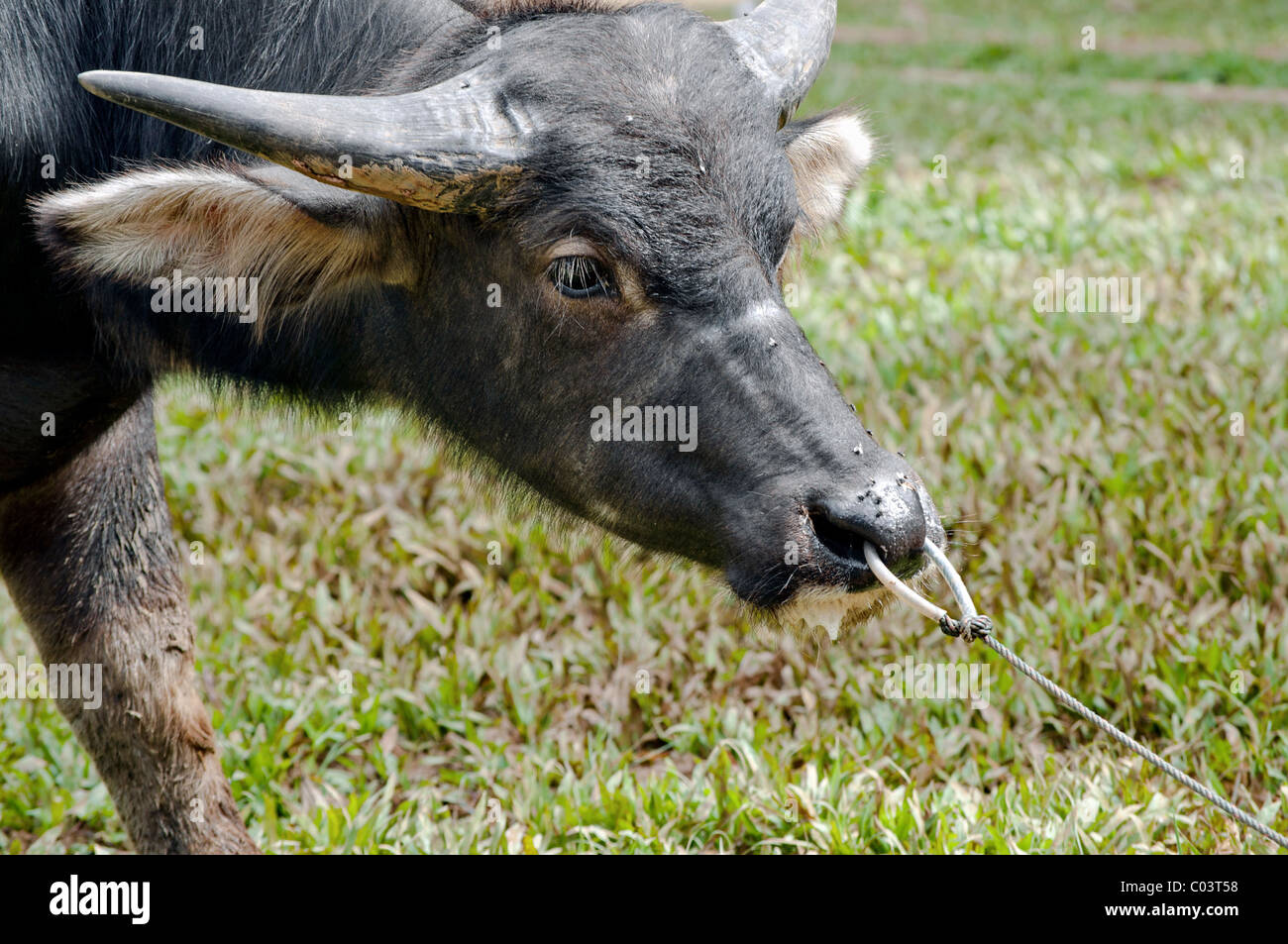 Tied Indonesian Buffalo trying to get free - Stock Image