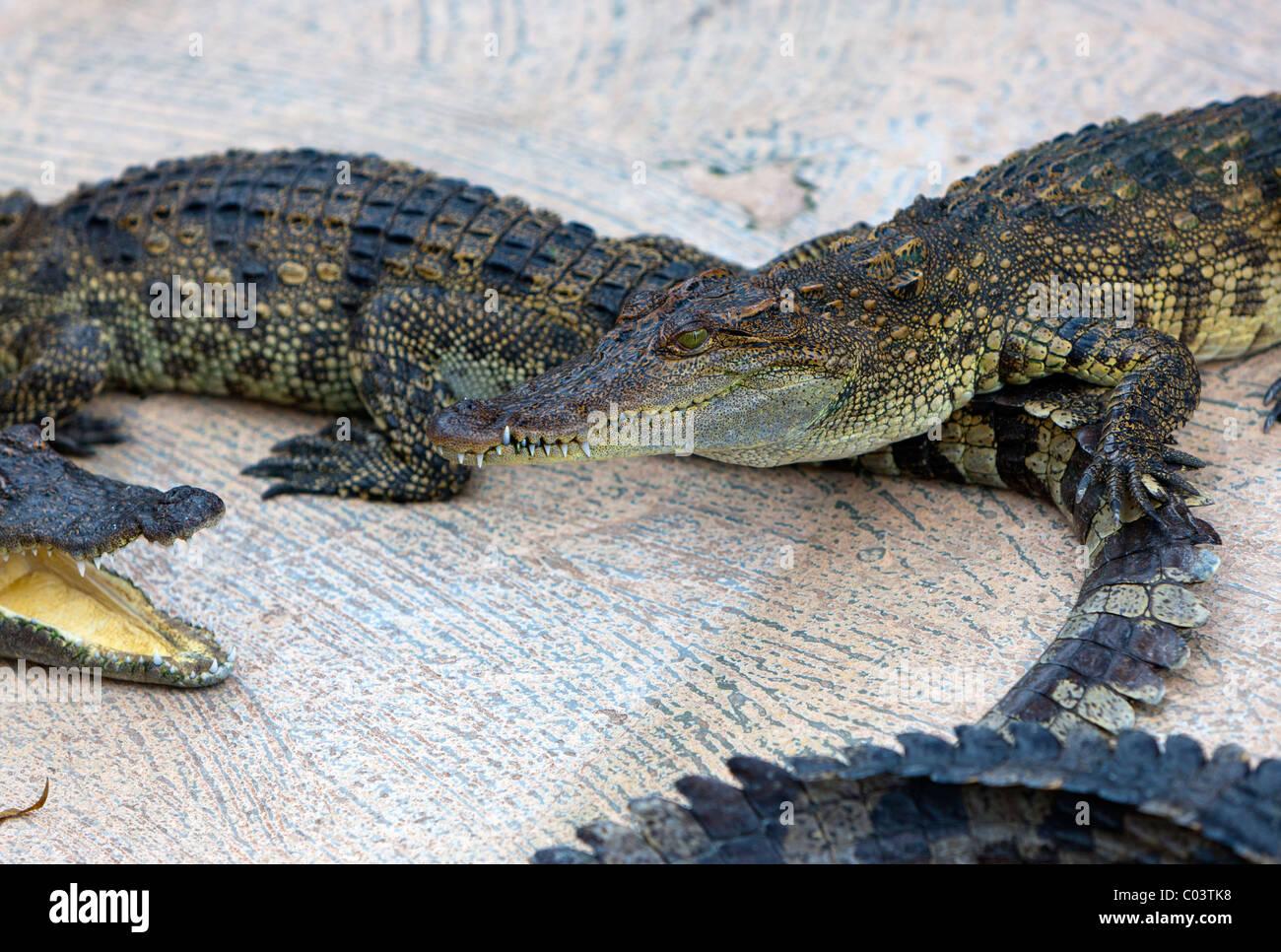 The Siamese crocodile (Crocodylus siamensis) in Crocodile Farm. Siem Reap. Cambodia. Asia - Stock Image