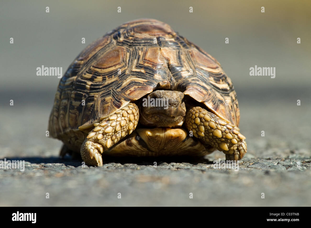 Serrated hinged tortoise South Africa - Stock Image