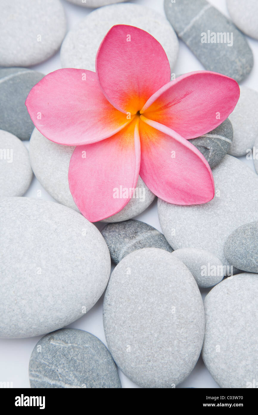 Pink flower and pebbles in the studio - Stock Image