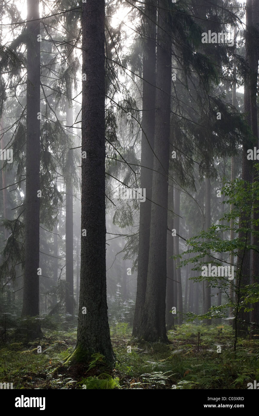 Misty late summer coniferous stand of Bialowieza Forest at sunrise with old spruces - Stock Image