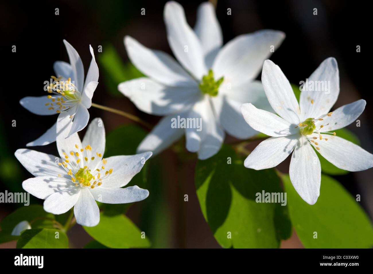 Rue Anemone, Thalictrum thalictroides, Buttercup Family Stock Photo