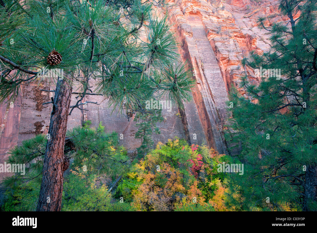 Colorful rock face and fall colored maple trees. Zion National Park, Utah - Stock Image