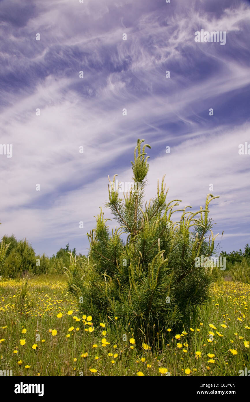 Young pine tree among grass and yellow flowers against blue cloudy sky - Stock Image