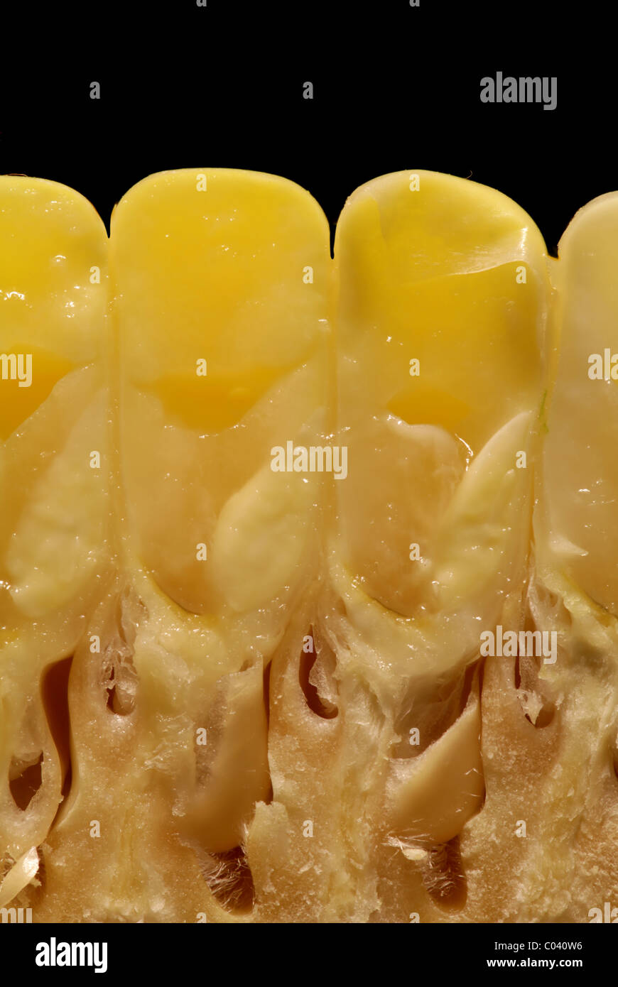 Corn kernels in cross section, showing embryos and endosperm. Stock Photo