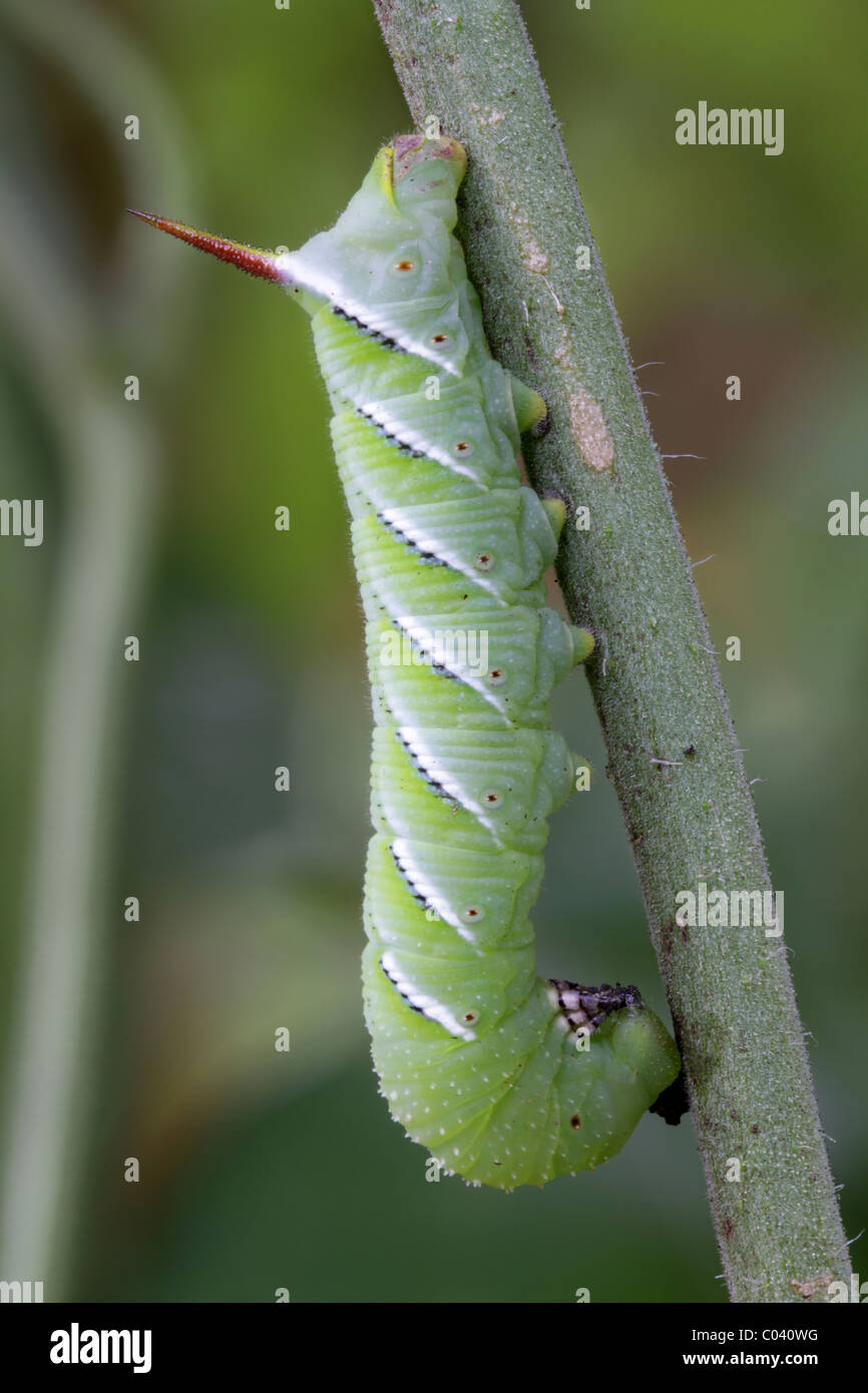 A tobacco hornworm, the caterpillar of the Carolina Sphinx moth. - Stock Image