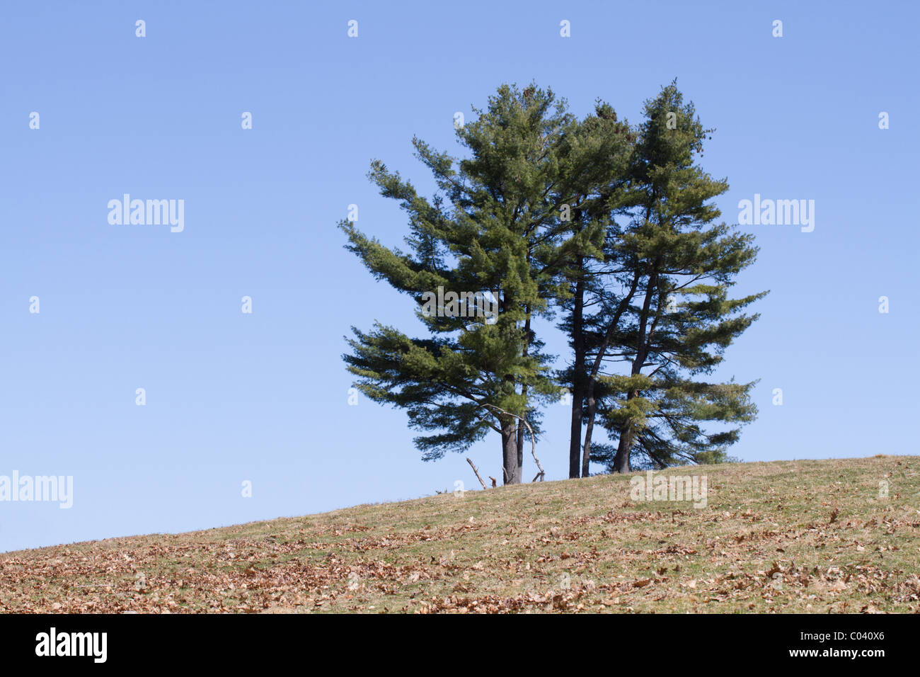A small stand of eastern white pines (Pinus strobus) on a hillside under a blue sky. - Stock Image