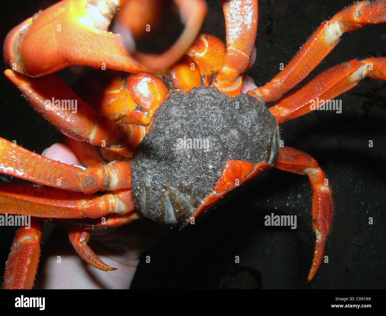 Underside Of Female Christmas Island Red Crab Gecarcoides Australis
