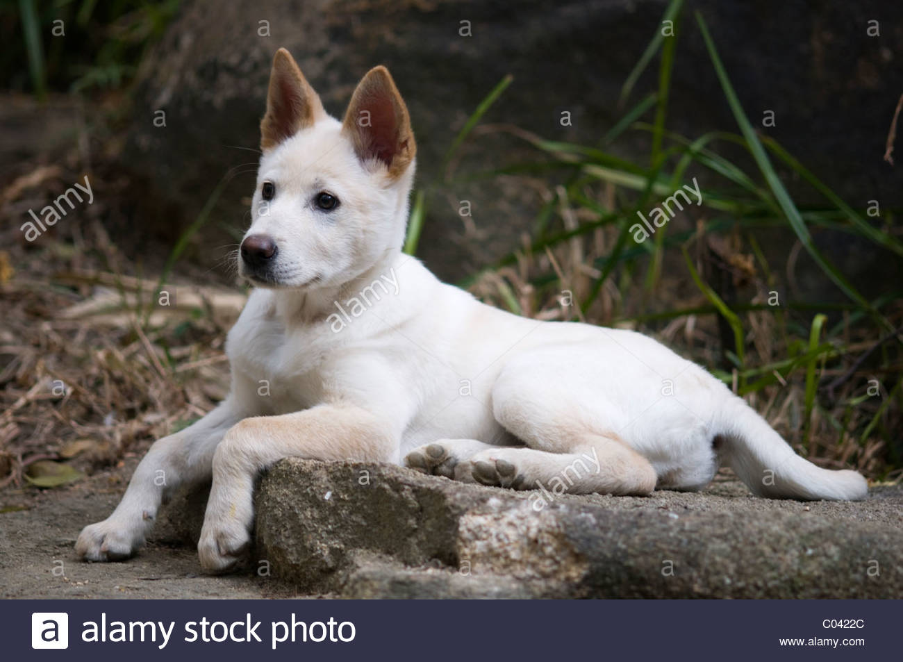 A four month old Shiba Inu cross breed puppy. - Stock Image