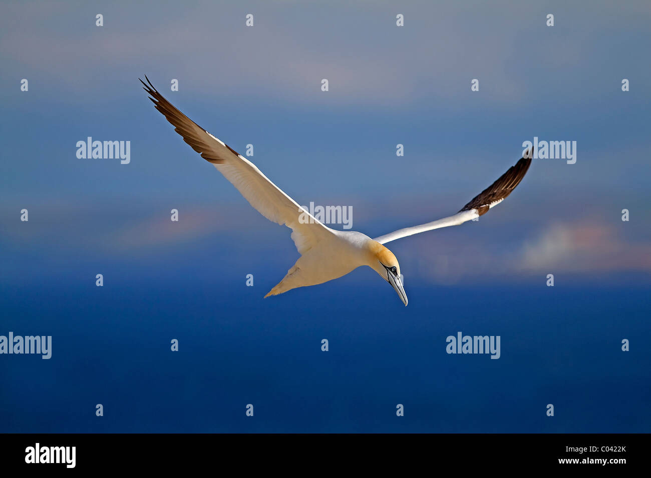 Northern Gannet in flight - Stock Image