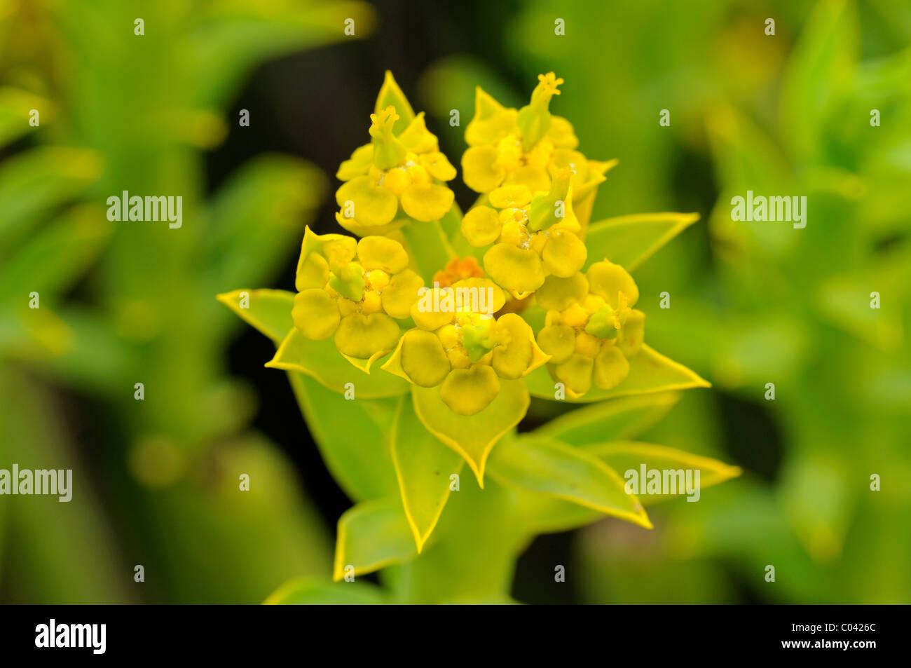 Euphorbia mauretanica, Gifmelkbos, Richtersveld, South Africa Stock Photo
