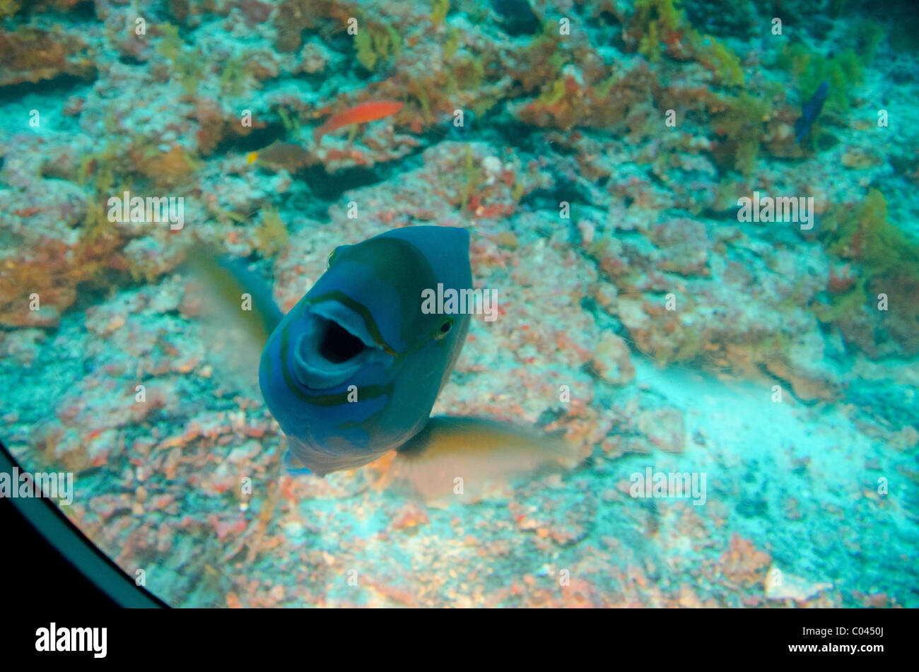 Maldives, North Male Atoll, near the island of Male. Tourist submarine, underwater fish view from sub window. Stock Photo