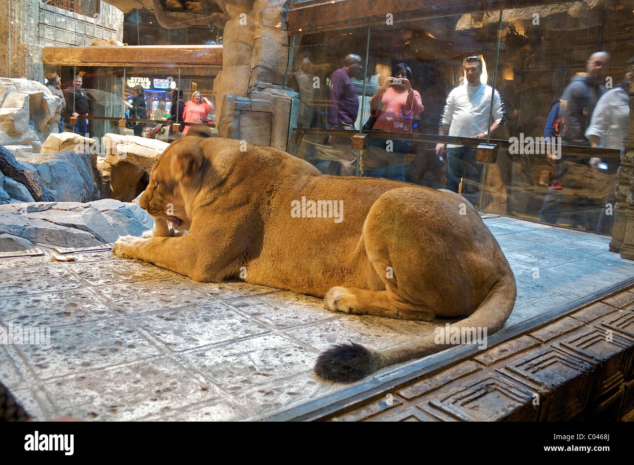 People Watch A Lion Inside The Lion Habitat At The Mgm Grand Hotel Stock Photo Alamy
