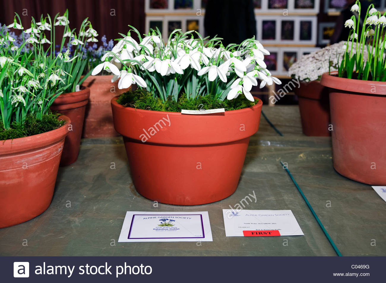 AGS Alpine Garden Society South Wales show 2011. Galanthus mighty atom 'ione hecker' won the galanthus goblet. - Stock Image