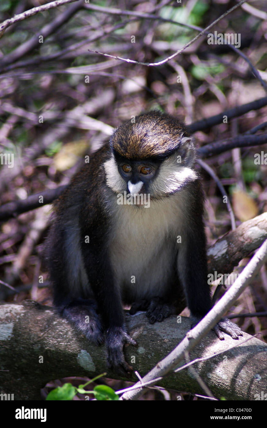 Red-tailed monkey (Cercopithecus ascanius), Kichwa Tembo Forest, Maasai Mara, Kenya - Stock Image