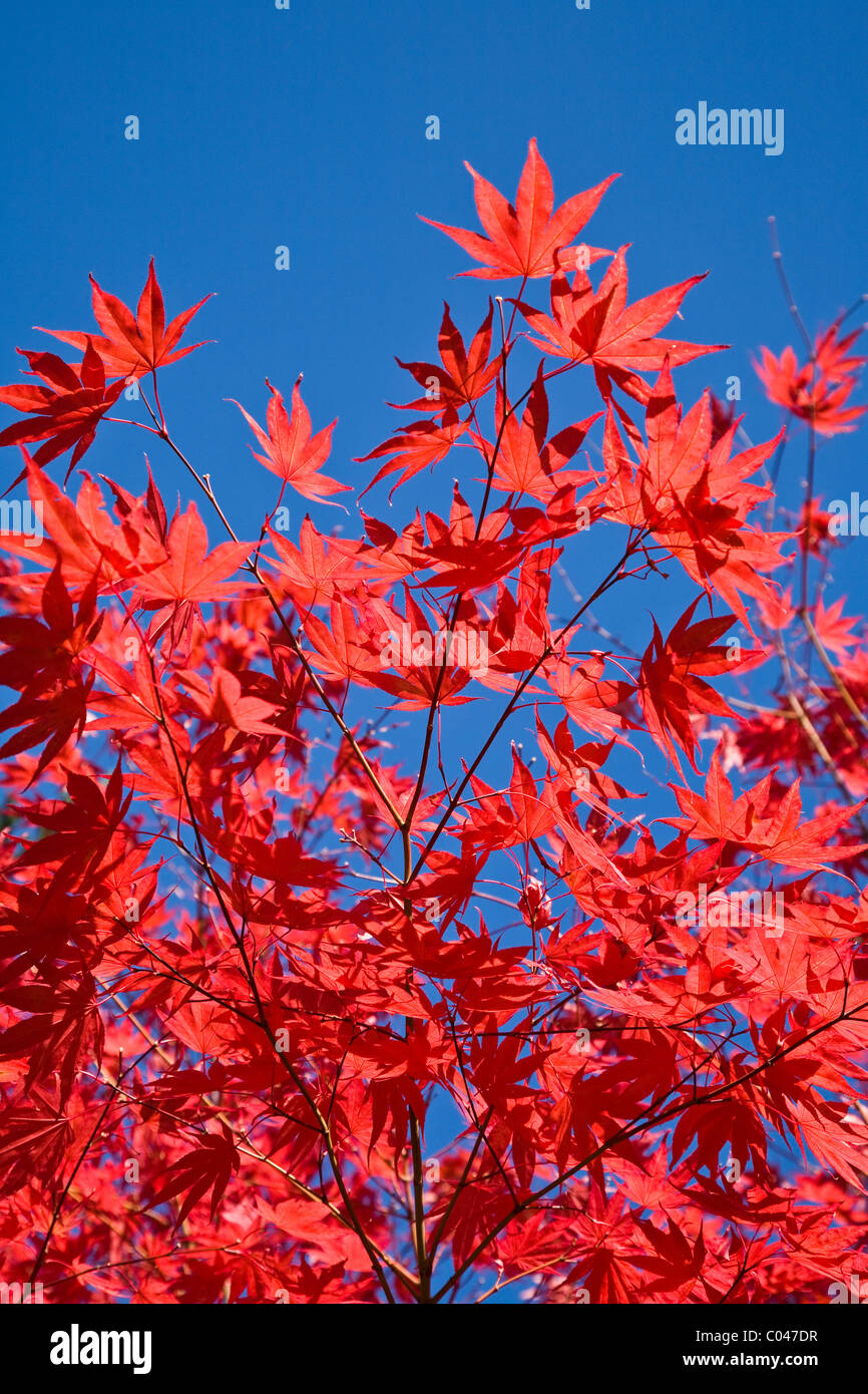Abstract image of red Maple leaves against a vivid blue sky - Stock Image