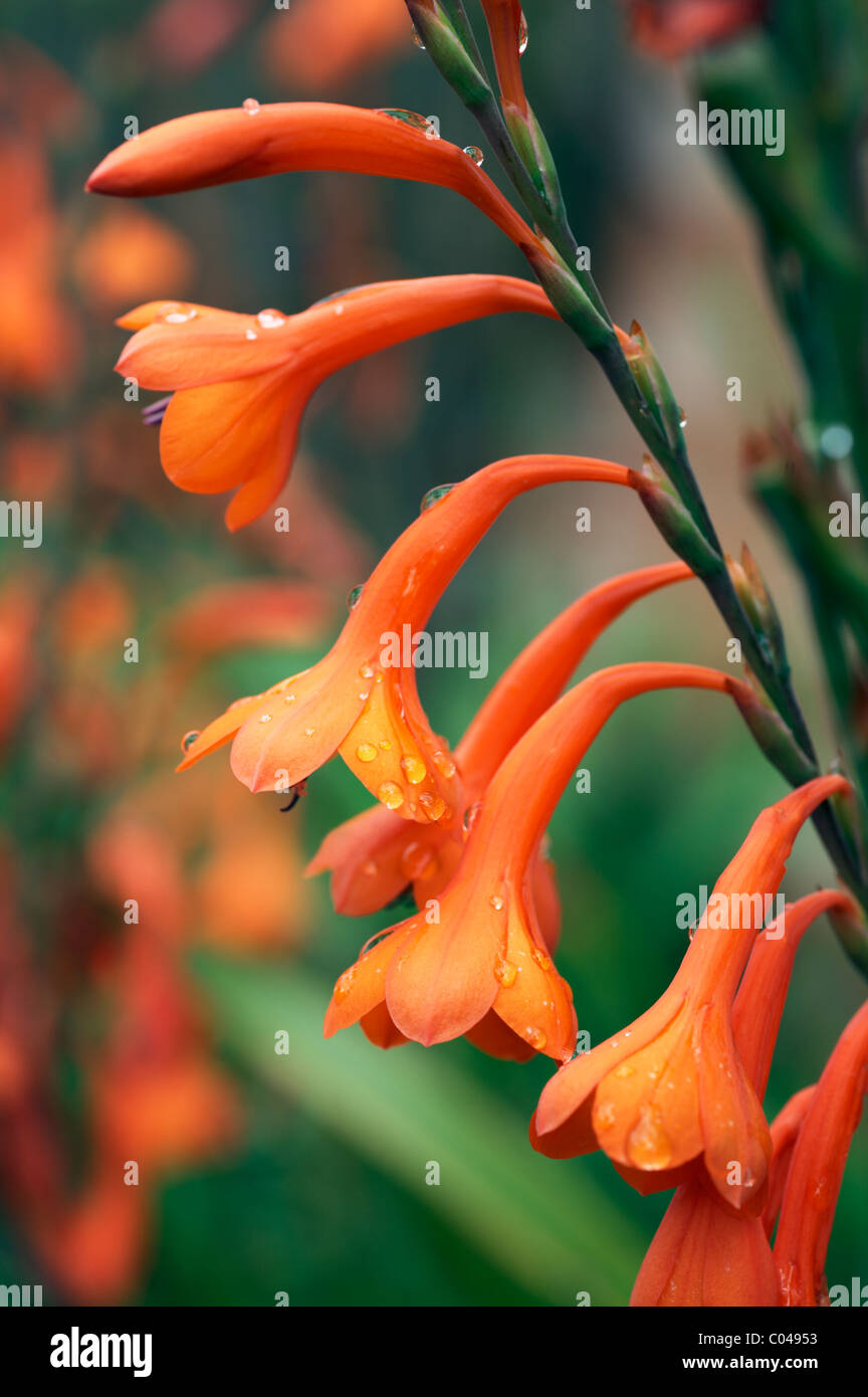 Watsonia High Resolution Stock Photography and Images   Alamy