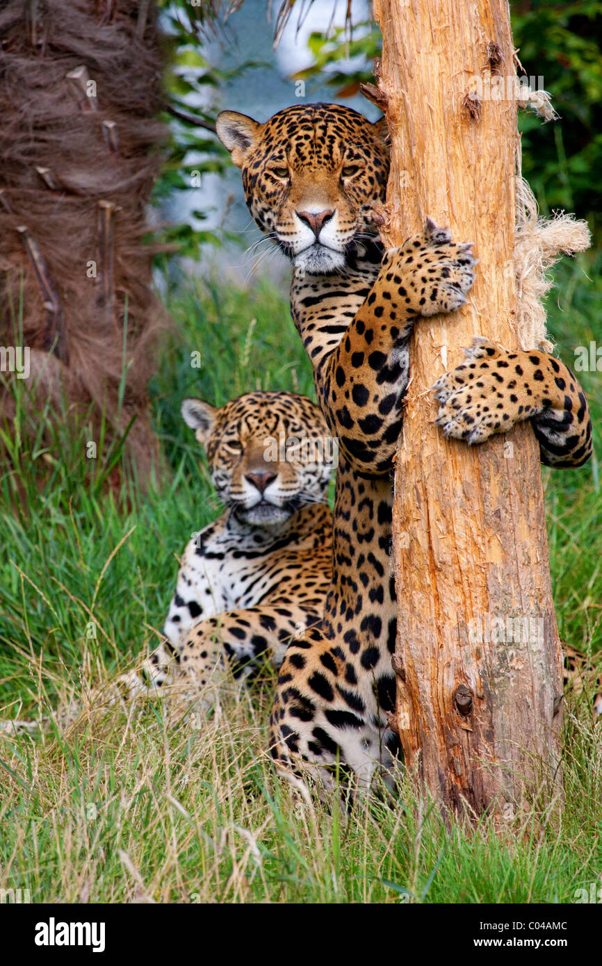 Jaguars at play - Stock Image