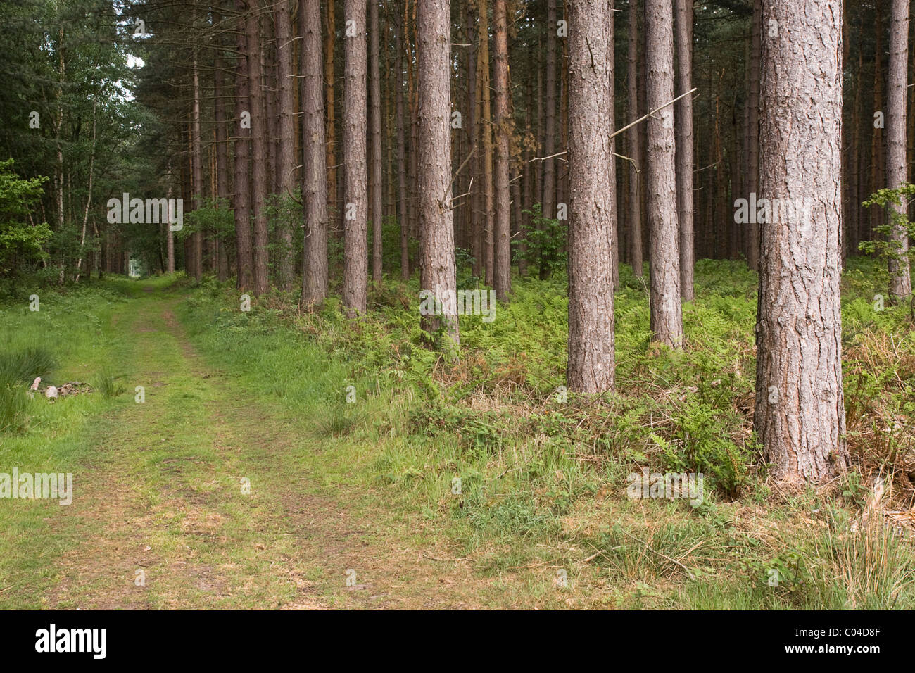 Forest ride or fire break, Clumber Park, Nottinghamshire - Stock Image