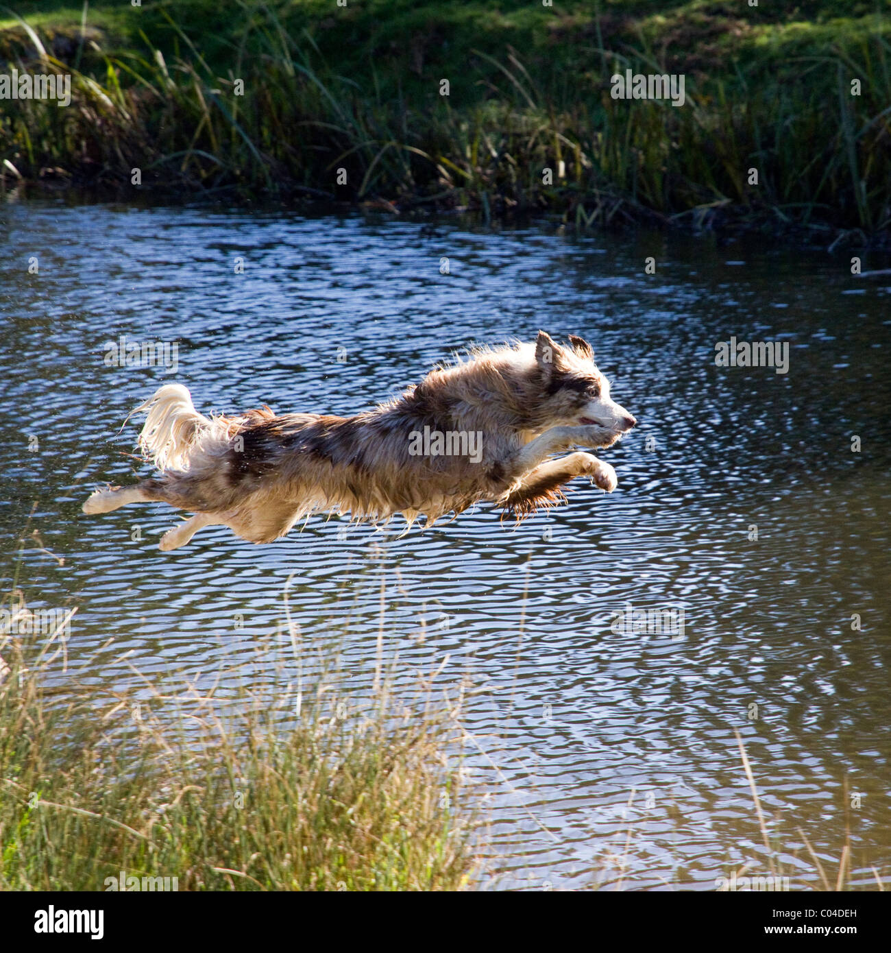 Collie dog leaping / diving headlong into water whilst chasing a thrown ball. - Stock Image