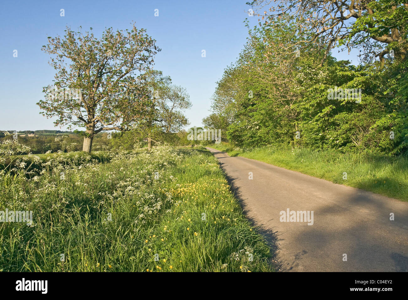 Country road near Leyburn, North Yorkshire. grass verge with cow parsley in flower and a field covered in dandelions. - Stock Image