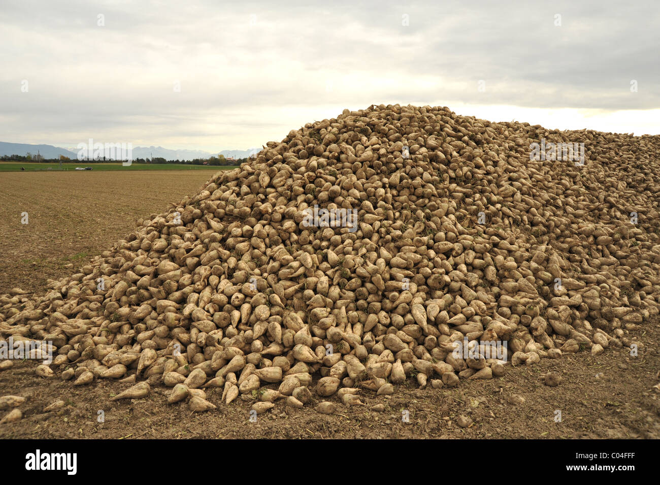 Sugar beet freshly harvested from the field. - Stock Image