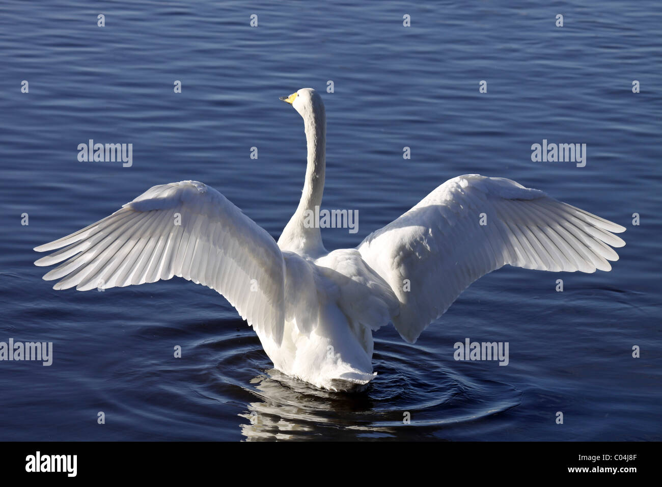Whooper Swan Cygnus cygnus With Wings Outstretched At Martin Mere WWT, Lancashire UK Stock Photo