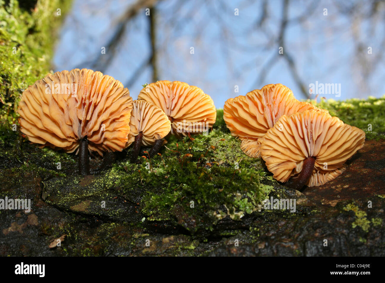 Velvet Shank Flammulina velutipes Taken At Martin Mere WWT, Lancashire, UK - Stock Image